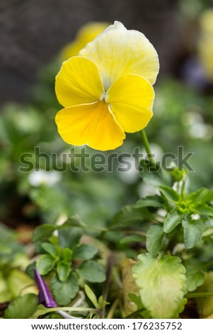Pretty Yellow Pansy In Spring