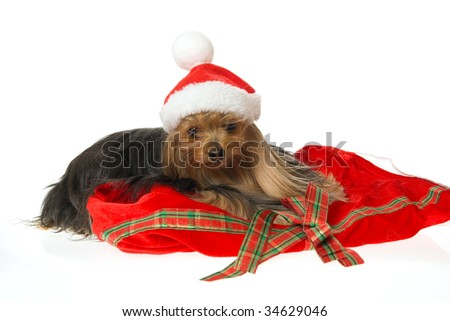 Pretty Yorkie with santa hat and gift bag, on white background