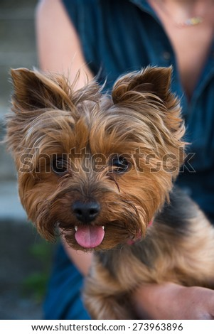 pretty yorkshire terrier on the girl's knees  - stock photo