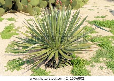 prickly cactus, exotic plants - stock photo