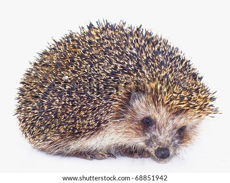 prickly hedgehog is isolated on a white background - stock photo