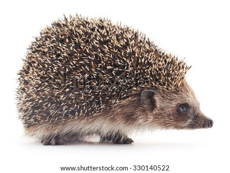 Prickly hedgehog isolated on a white background. - stock photo