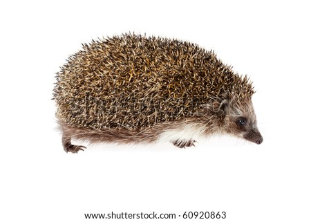 prickly hedgehog on white background - stock photo