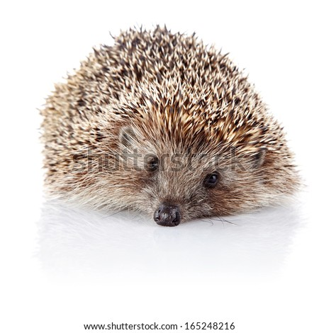 Prickly hedgehog. Ordinary hedgehog. Omnivore. Prickly animal. - stock photo