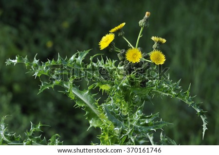Prickly or Rough Sow-thistle - Sonchus asperFlowerhead - stock photo