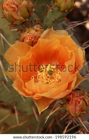 Prickly Pear Cactus blooming in the high desert of the Sandia Foothills in early June - stock photo