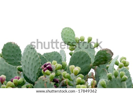 Prickly pear cactus on white background