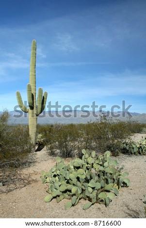Prickly Pears and Saguaro Cactus, Saguaro National Park, Sonoran Desert, Tucson, Arizona - stock photo
