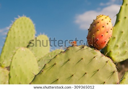 Prickly pears on a cactus plant - stock photo