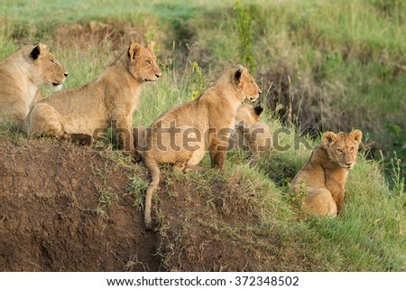 Pride of African Lions in the Ngorongoro Crater, Tanzania - stock photo