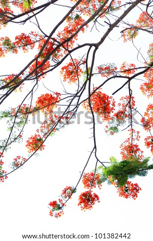 Pride of Barbados or Peacock's Crest flowers. also called Poinciana, Peacock Flower, Red Bird of Paradise, Mexican Bird of Paradise, or Pride of Barbados - stock photo