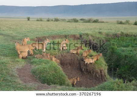 Pride of Lions in the Ngorongoro Crater, Tanzania - stock photo