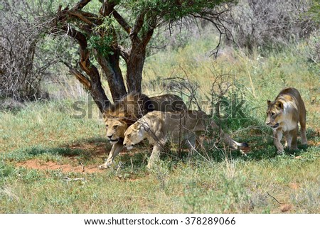 Pride of lions on the hunt. Lion and two lioness ready to attack in the African bush, Namibia - stock photo
