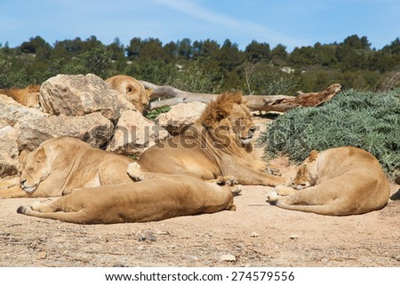 Pride of Lions (Panthera leo) - stock photo