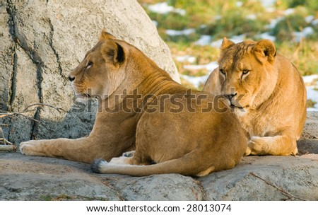 Pride of lions relaxing in the sun - stock photo