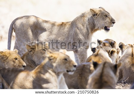 Pride of lions rests at the african savannah  - stock photo