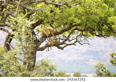 Pride of lions rests in tree - stock photo
