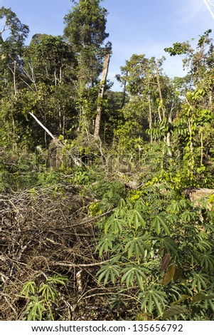 Primary rainforest in Ecuador cut for subsistence farming - Cassava plant growing in foreground. - stock photo