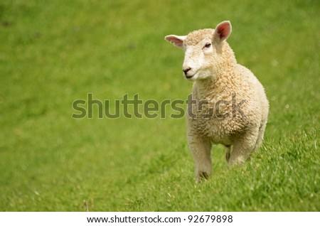 prime lamb on green grass - stock photo