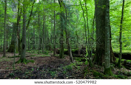 Primeval deciduous stand in summer with old oak trees and broken one in background, Bialowieza Forest, Poland, Europe