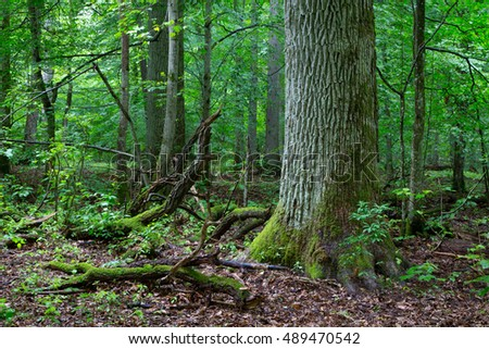 Primeval deciduous stand of natural forest in summer with old oak in foreground,Bialowieza Forest,Poland,Europe
