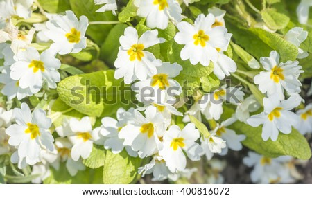 primrose flowers in bright sunlight - stock photo
