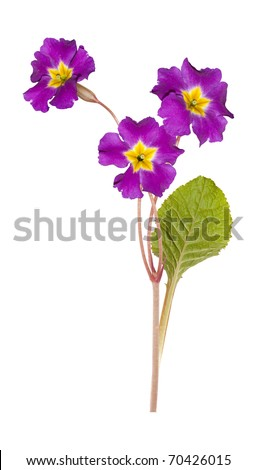 primrose isolated on white - stock photo