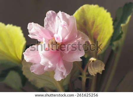 Primrose pink flower violet with bud - stock photo