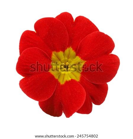 Primrose red flower isolated on white background - stock photo