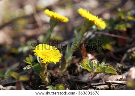 primrose Tussilago farfara, commonly known as Coltsfoot, plant in the family Asteraceae, selective focus - stock photo