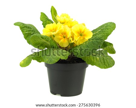 Primula flowers in plastic pot on a white background   - stock photo