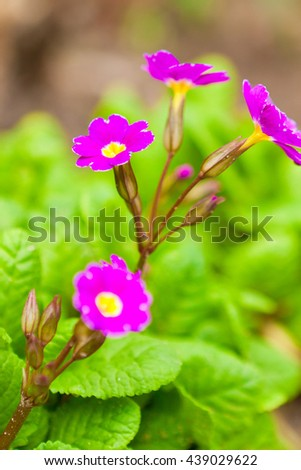 primula flowers in the garden in the flowerbed - stock photo
