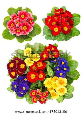 primula flowers isolated on white background. colorful fresh spring blooms - stock photo