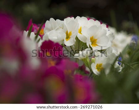 Primula in bloom Primula Vulgaris - stock photo