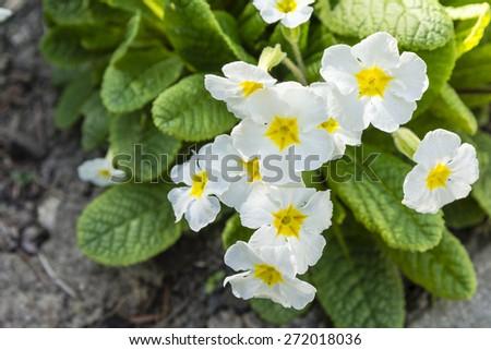 Primula in the garden cultivar - white flowers  - stock photo