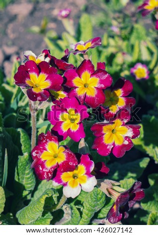Primula is wild flower of banks and verges, the primrose.