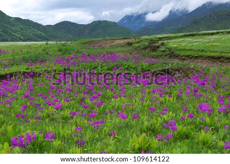 Primula malacoides flowers blooming on the meadow with mountain background - stock photo