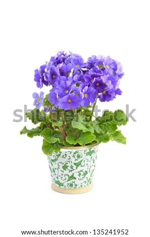 Primula Obconica in ceramic pot isolated on white background - stock photo