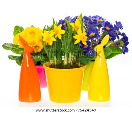 primulas and narcissus in pot on white background. spring flowers with easter bunny  decoration - stock photo