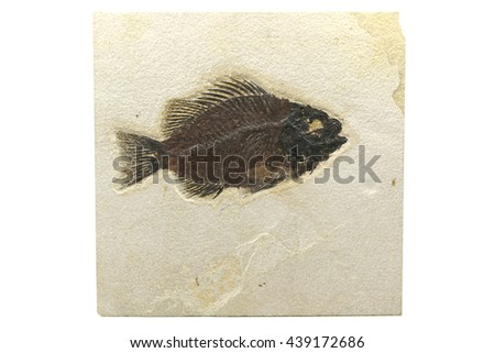 Priscacara fish fossil from Green River Formation/ Wyoming - stock photo