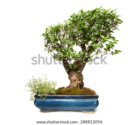 Privet bonsai isolated on white background with clipping path - stock photo