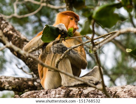 Proboscis Monkey feeding on a leaf