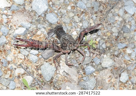 Procambarus clarkii. Crawfish with defense position, found on a road near a river. This specie is also know as american crawfish.