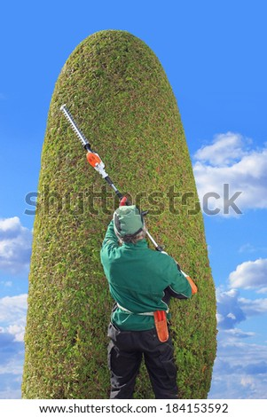 professional gardener trimming thuja with hedge clippers. Precision work in a topiary garden. Back view. - stock photo