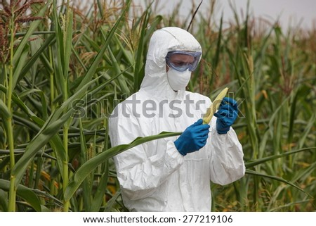 professional in uniform goggles,mask and gloves examining corn cob on field - close up - stock photo
