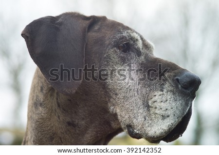 Profile and closeup of Great Dane head