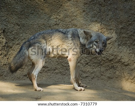 Profile figure of a wolf - stock photo