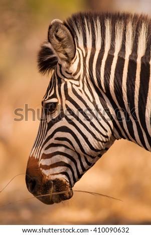 Profile head shot of a wild African zebra - stock photo