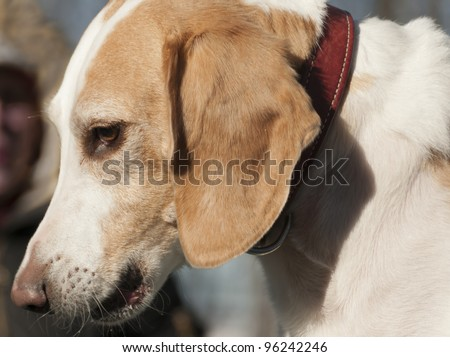 Profile of a Beagle harrier puppy - closeup - stock photo
