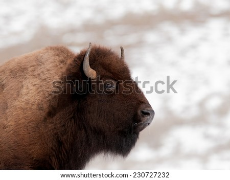 Profile of a bison in Yellowstone National park in winter, bison facing right - stock photo